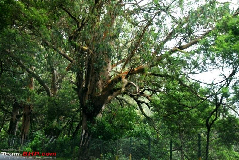 Name:  j Mysore Highway_beautiful tree.JPG