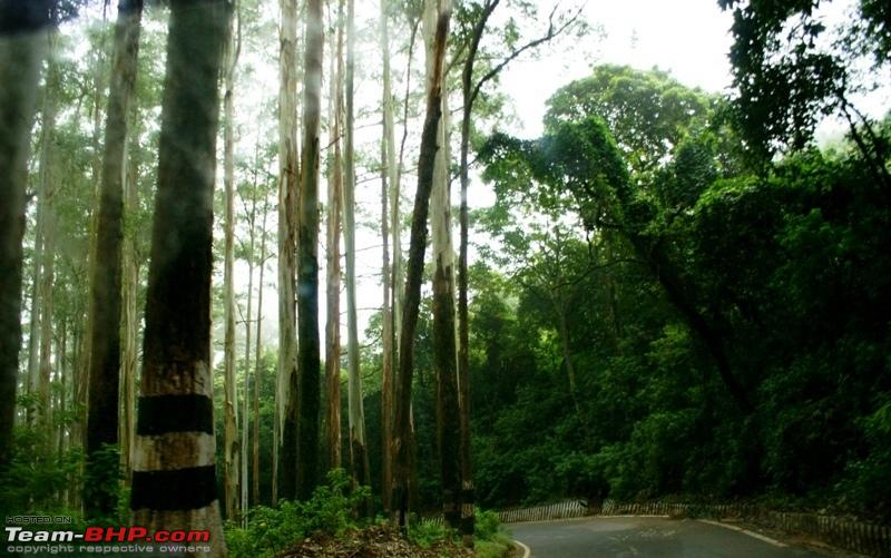 Name:  b Eucalyptus forest.JPG