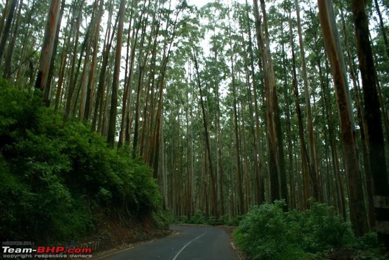 Name:  g Eucalyptus forest.JPG
