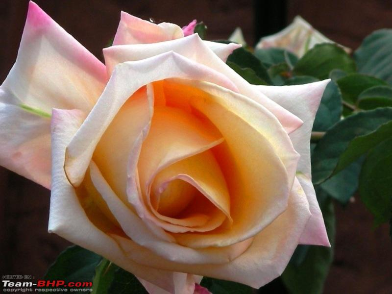 Name:  A Perfect Rose. I seem to have a karmic connection with this beauty.jpg