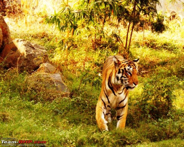 Name:  v Tiger.JPG Views: 726 Size:  345.3 KB
