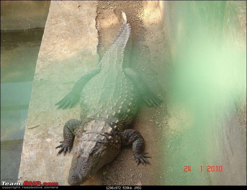 The Lion, The Beach & The Shrine Eternal (Sasan Gir, Diu & Somnath)-crocodile2.jpg