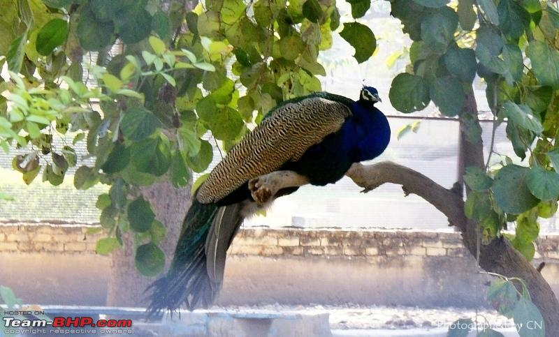 Name:  1 Peacock.JPG