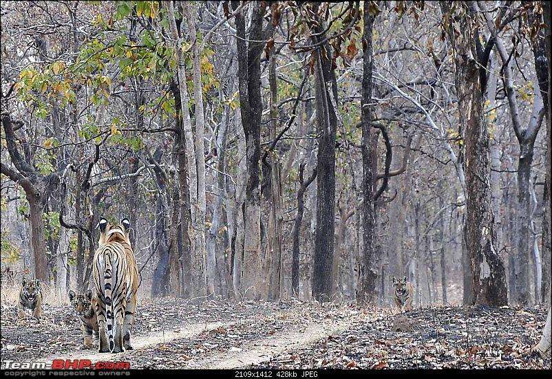 Tadoba, Pench forests, wildlife and 4 tigers!-_dsc3155.jpg