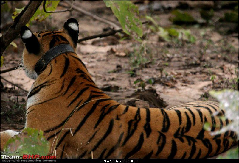 Tadoba, Pench forests, wildlife and 4 tigers!-img_5633.jpg