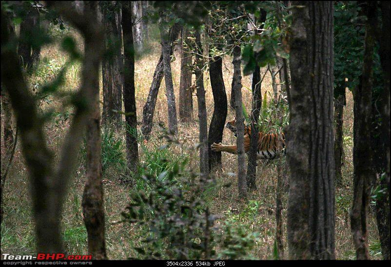 Tadoba, Pench forests, wildlife and 4 tigers!-pt3.jpg