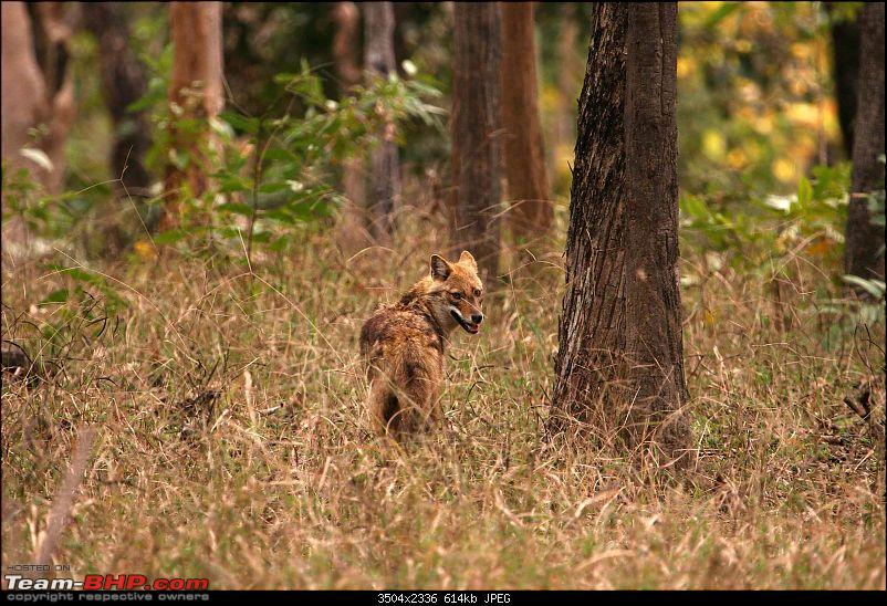 Tadoba, Pench forests, wildlife and 4 tigers!-pt17.jpg