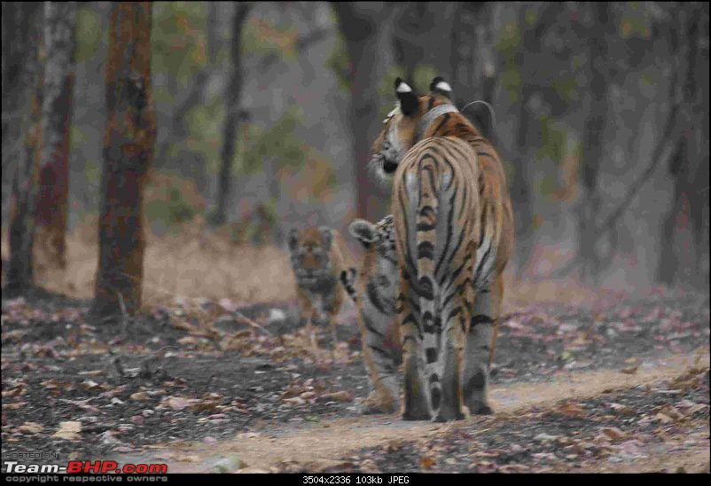 Tadoba, Pench forests, wildlife and 4 tigers!-img_6322.jpg