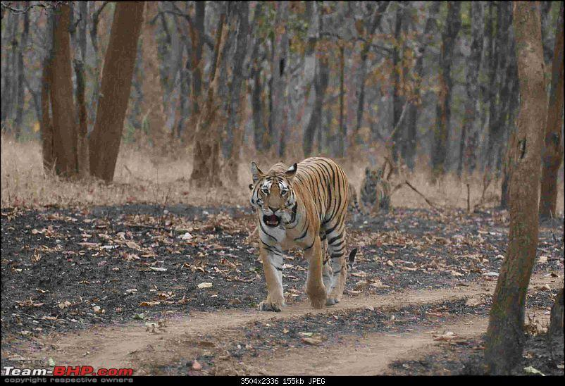 Tadoba, Pench forests, wildlife and 4 tigers!-img_6357.jpg