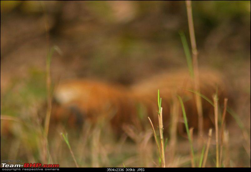 Tadoba, Pench forests, wildlife and 4 tigers!-img_0008sleeping-tigress-focus-front-grass.jpg