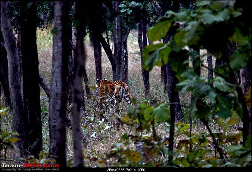 Tadoba, Pench forests, wildlife and 4 tigers!-img_5651the-swaggering-walk-after-siesta.jpg