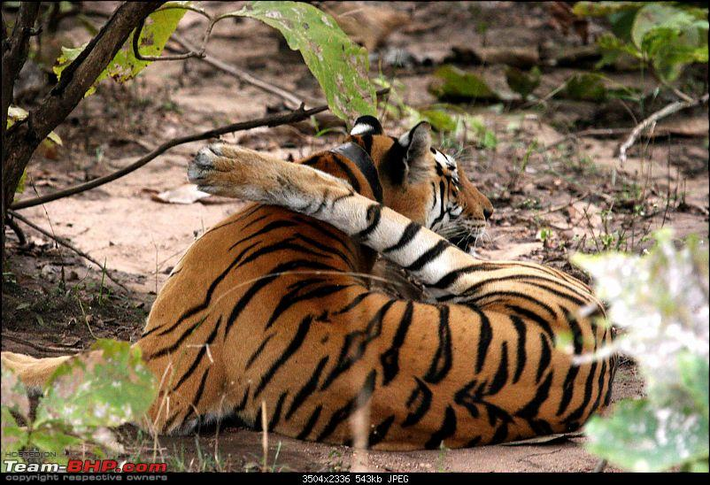Tadoba, Pench forests, wildlife and 4 tigers!-img_5630.jpg