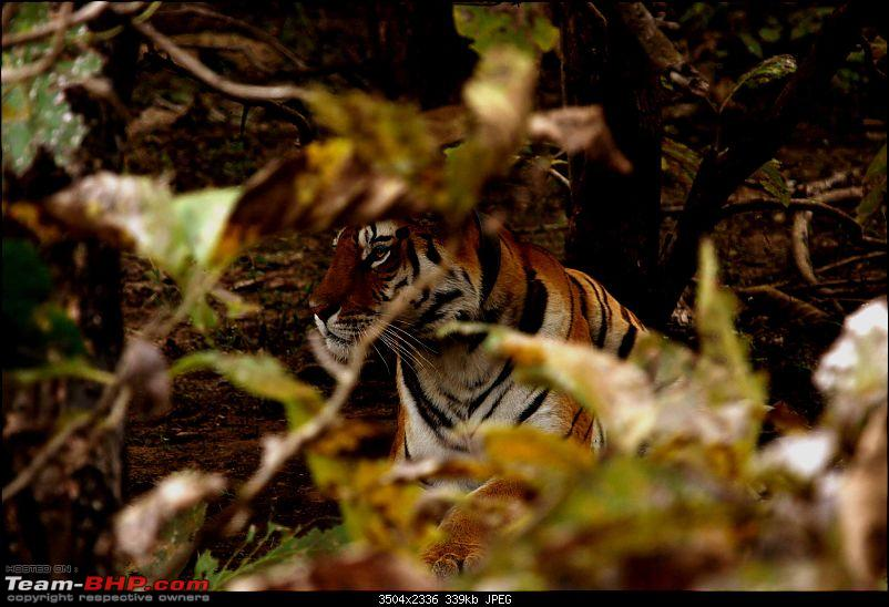 Tadoba, Pench forests, wildlife and 4 tigers!-img_5447.jpg