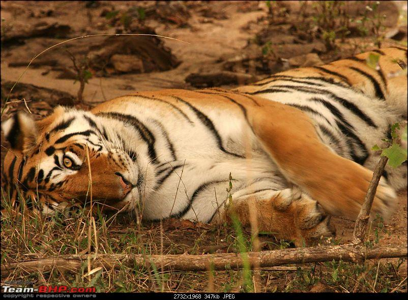 Tadoba, Pench forests, wildlife and 4 tigers!-img_5538.jpg