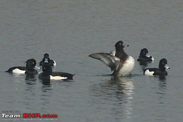 Name:  ducks.jpg