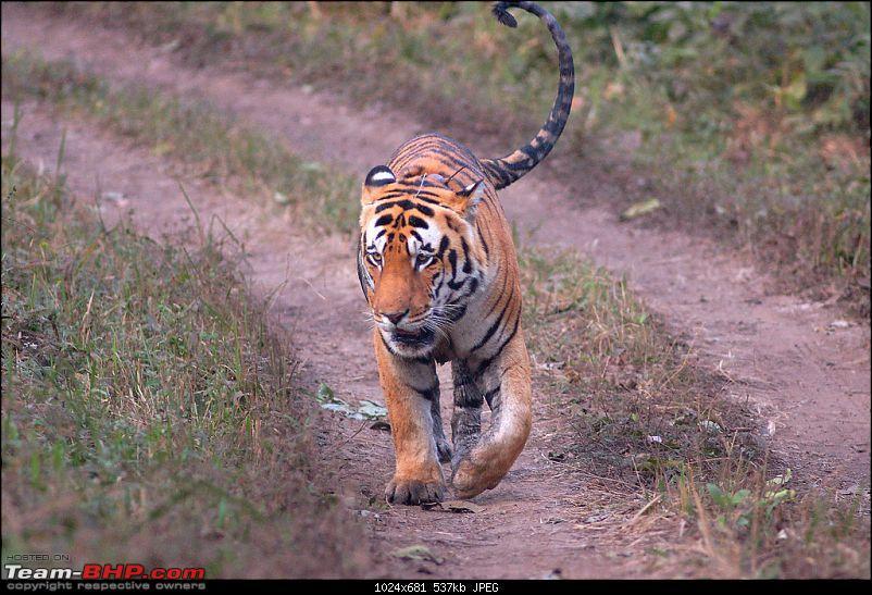 Tadoba, Pench forests, wildlife and 4 tigers!-kaunda.jpg