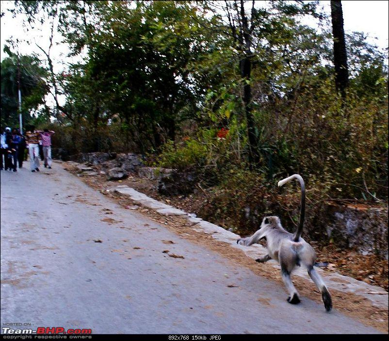 An Incredible Road Trip of a Lifetime to Udaipur, The Most Romantic City in the World-3-langur_running_past_us.jpg