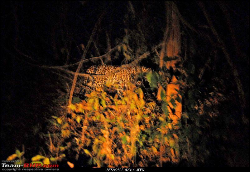 Tadoba, Pench forests, wildlife and 4 tigers!-leopard-night-record-shot.jpg <br /> <b>Sloth bear showing nails<br /> </b><br /> <a href=