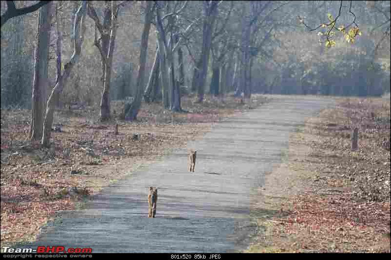 Tadoba, Pench forests, wildlife and 4 tigers!-wilddogs-road.jpg <br />