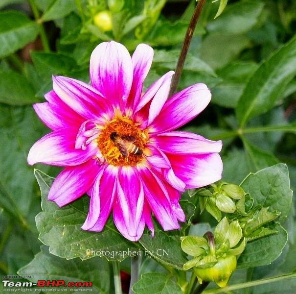Name:  18 Bee in a flower.JPG Views: 975 Size:  203.3 KB