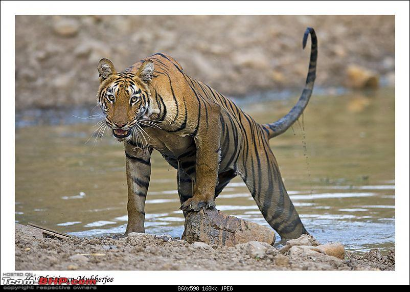 Tadoba, Pench forests, wildlife and 4 tigers!-dripping-tiger.jpg