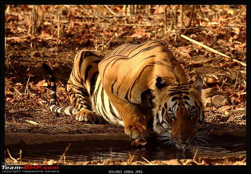 Tadoba, Pench forests, wildlife and 4 tigers!-sipping-tiger.jpg