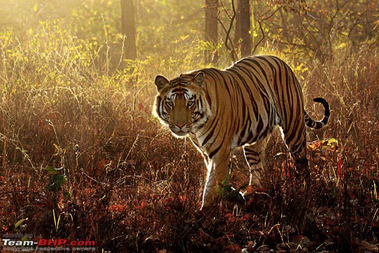 Name:  backlit tiger.jpg Views: 2004 Size:  150.7 KB