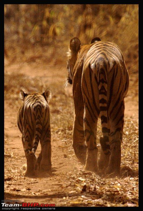 Name:  tigress and cub.jpg Views: 1665 Size:  86.3 KB