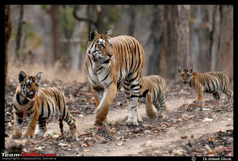 Name:  5 tigers in 1 frame.........Pench.jpg Views: 2217 Size:  108.7 KB