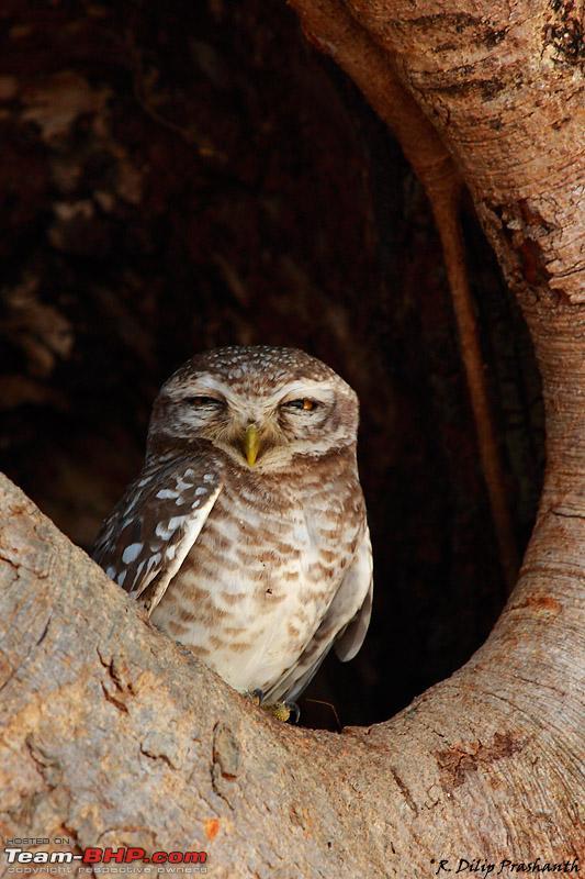 Name:  Owl dppcs4.jpg Views: 4254 Size:  166.1 KB