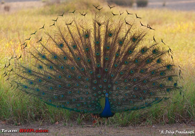 Name:  Peacock dance dppcs4.jpg Views: 5045 Size:  661.2 KB