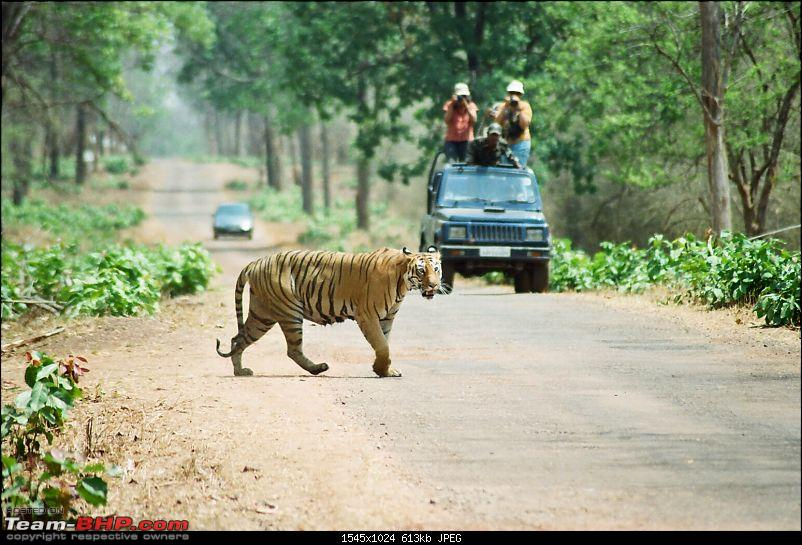 Tadoba, Pench forests, wildlife and 4 tigers!-73110016.jpg