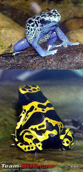 Name:  291pxBluepoison_dart_frog_and_Yellowbanded_dart_frog_arp.JPG
