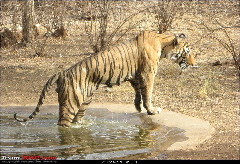 Driving through Rajasthan and Gujarat - Tigers at Ranthambhore-img_10641.jpg