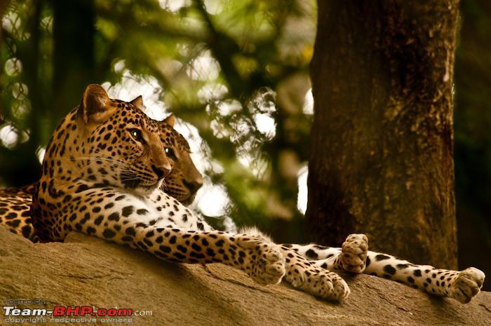 Name:  bannerghattaleopardpicsphotograpahy.jpg Views: 5249 Size:  283.2 KB