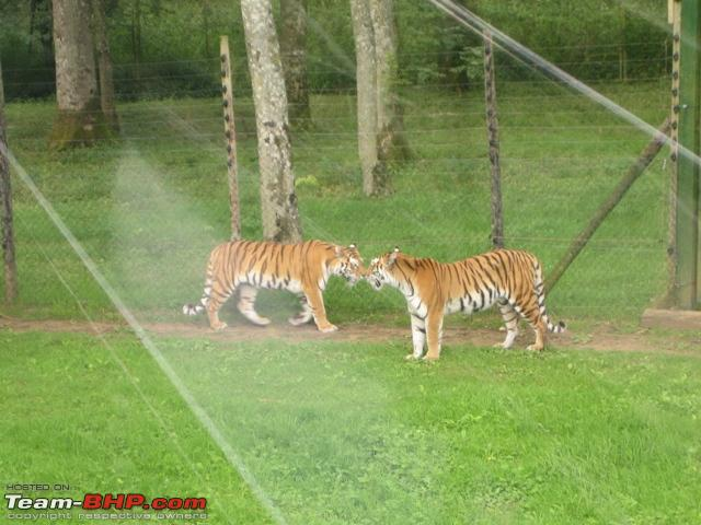 Name:  Tigers.jpg