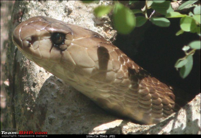 Nature and Wildlife-cobra.jpg