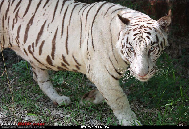Nature and Wildlife-white-tiger-2.jpg
