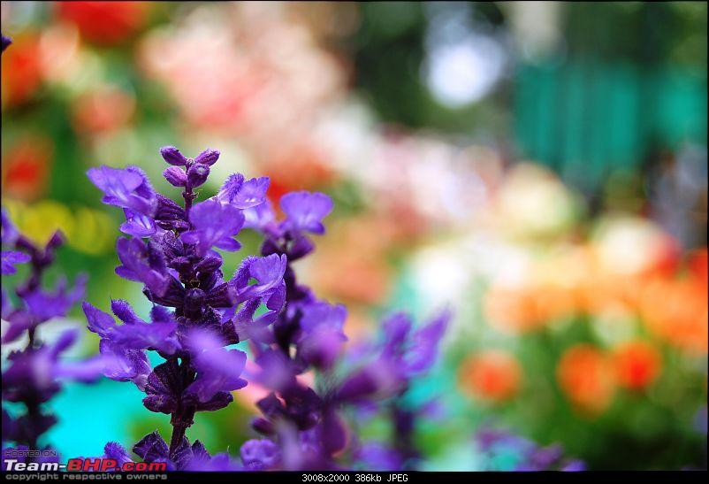 Lalbaugh Flower Show: A Small Photologue-dsc_7336.jpg