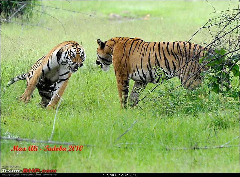 Tadoba, Pench forests, wildlife and 4 tigers!-20733345084c611bf676848.jpg