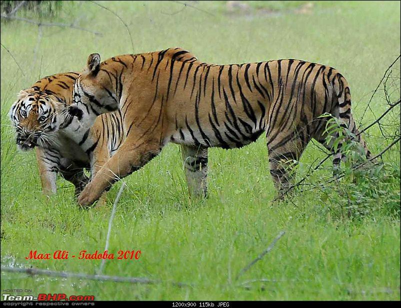 Tadoba, Pench forests, wildlife and 4 tigers!-16259367284c61c37a6d266.jpg