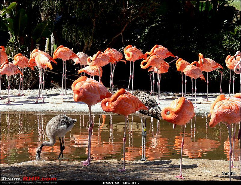 A Whirlwind tour of some parts of the USA-flamingoes.jpg