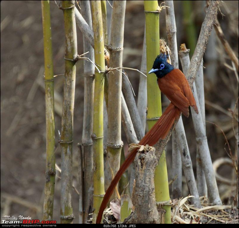 �THE COLD STARE� - I always heard about it, read about it. Now I know it - up close-asian-paradise-flycatcher-8.jpg