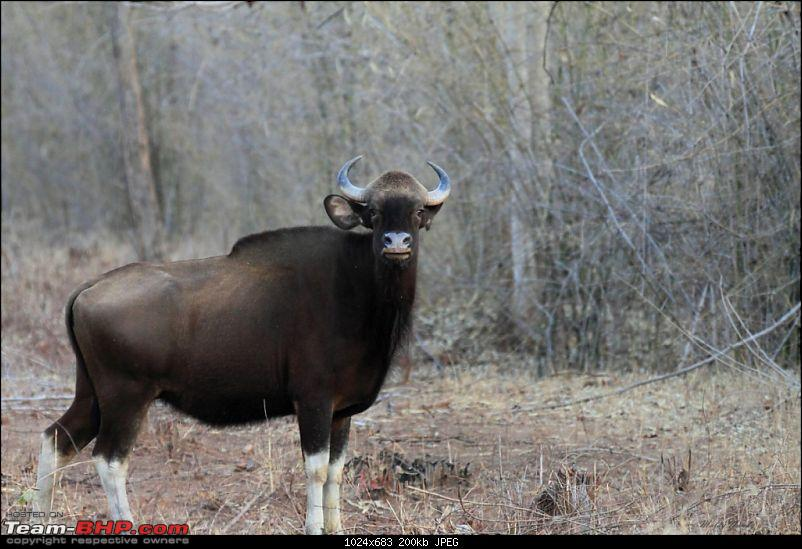 �THE COLD STARE� - I always heard about it, read about it. Now I know it - up close-indian-gaur.jpg