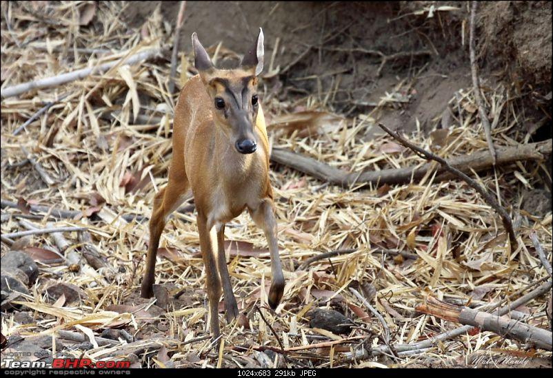 �THE COLD STARE� - I always heard about it, read about it. Now I know it - up close-barking-deer-4.jpg