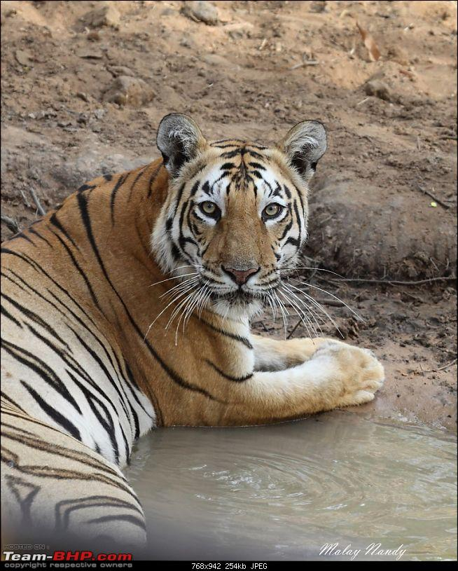 �THE COLD STARE� - I always heard about it, read about it. Now I know it - up close-royal-bengal-tiger-22.jpg