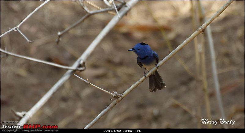 �THE COLD STARE� - I always heard about it, read about it. Now I know it - up close-black-naped-monarch-2.jpg