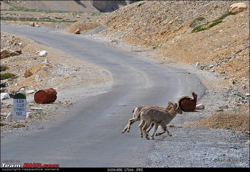 4500 km, Two Idiots & a Wild Safari in Ladakh-528_bharals-crossing-road.jpg