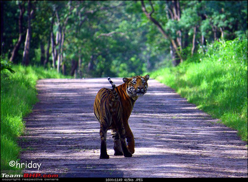 Nobody can assure you a Tiger, and thats the fun of it - Team BHP meet at Tadoba !-tedhi-pooch.jpg
