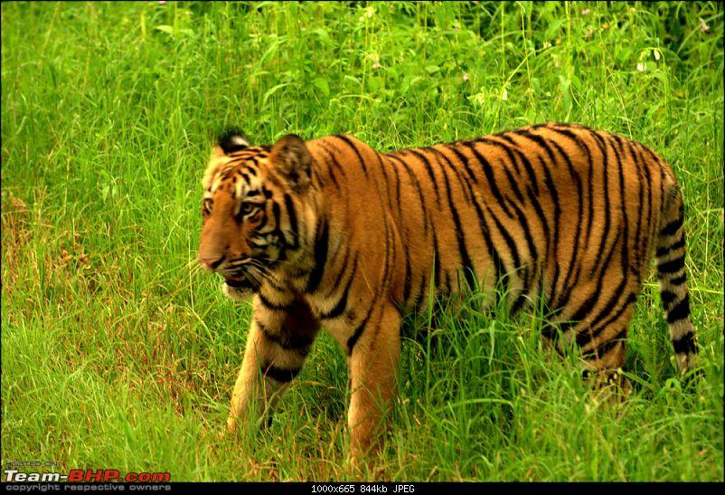 Nobody can assure you a Tiger, and thats the fun of it - Team BHP meet at Tadoba !-male-cub-1.jpg